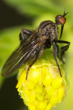 Empis pennipes