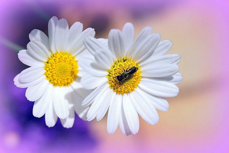 daisies-558501_1280