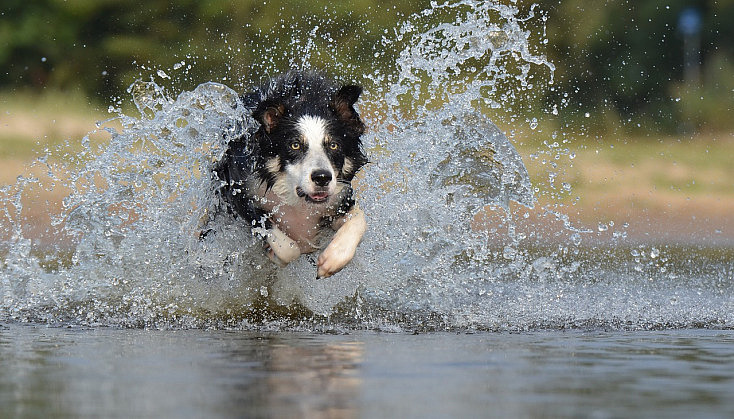 border-collie-667502_1280